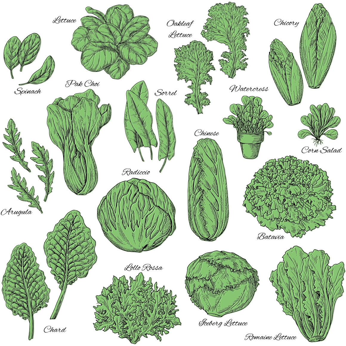 Various types of salad greens